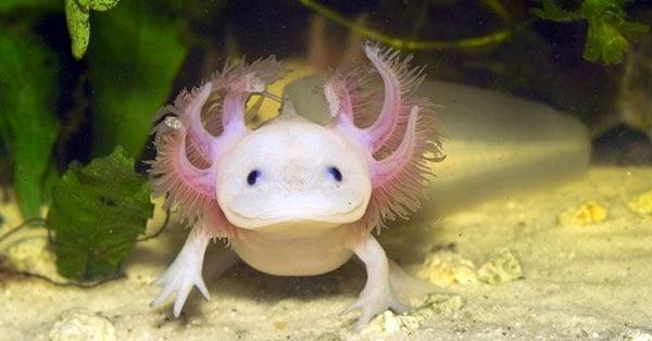 Animales exoticos que se encuentran en peligro de extincion for Water lizard fish