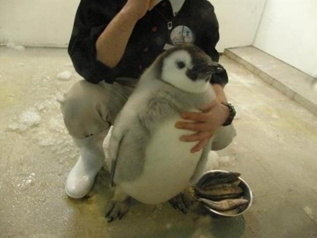 pingüino pequeño