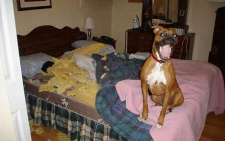 perro que destruyo el colchón