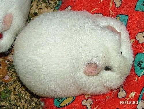 hamster blanco