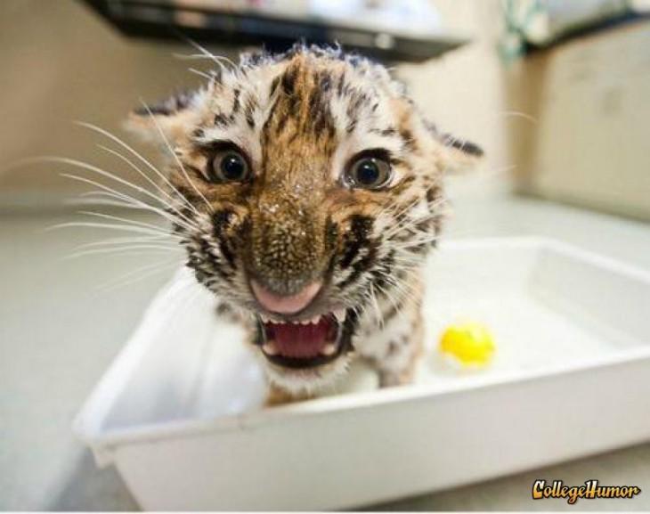 tigre en la bañera