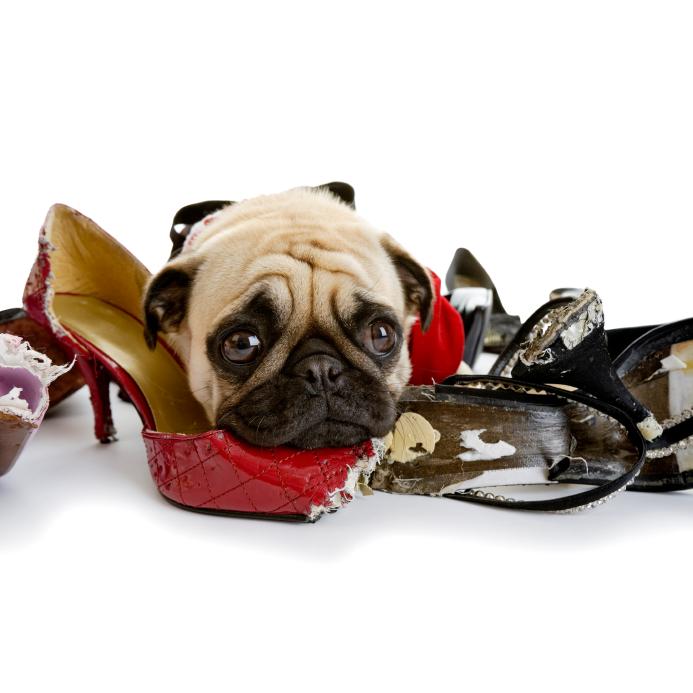 perro desruye zapatos