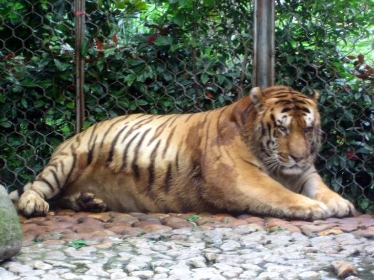 tigres gordo