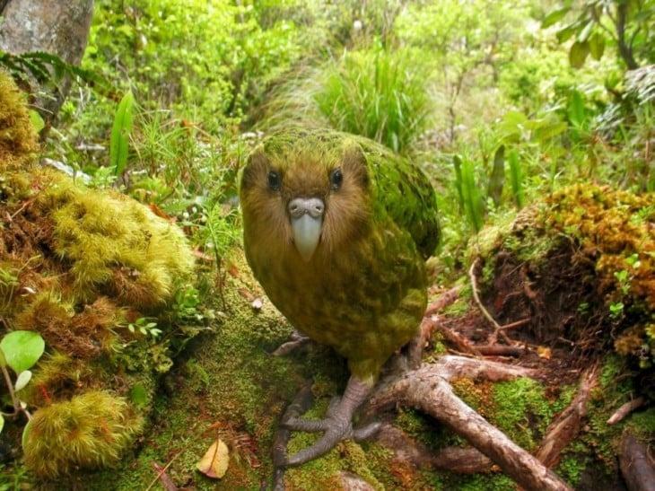 perico kakapo