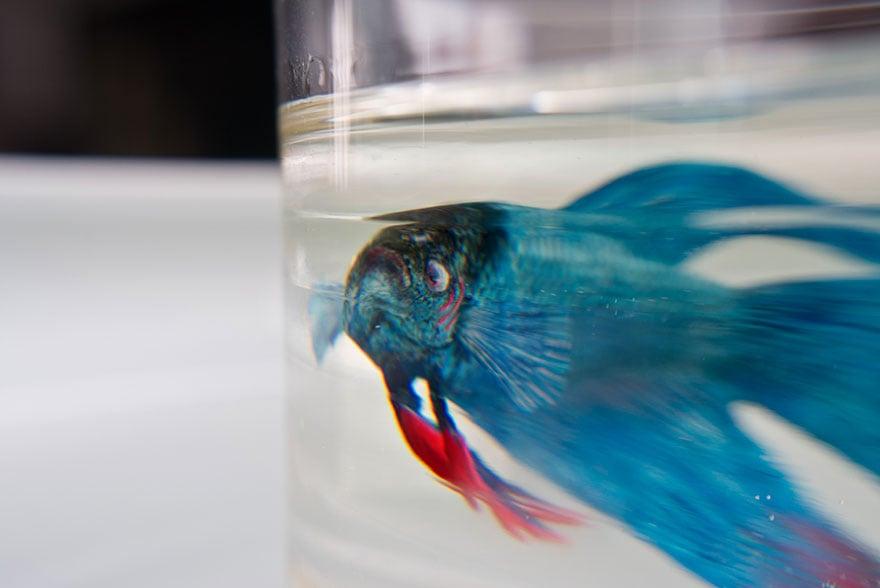 keng lye pez azul nadando