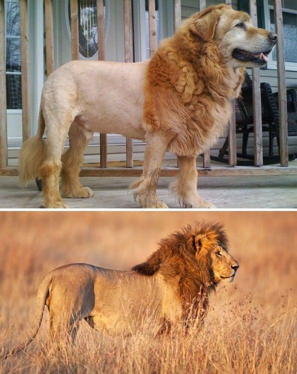 perrito que se parece a leon