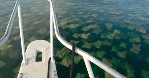 migracion de manta rayas