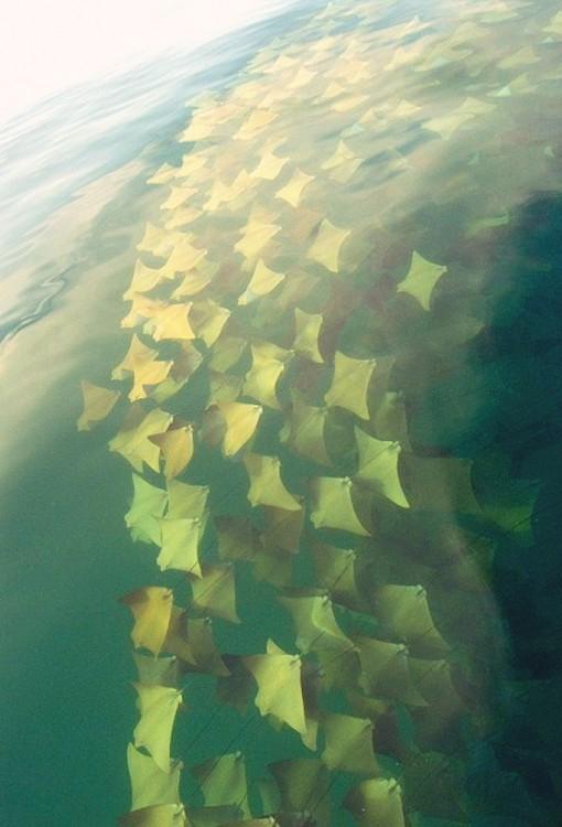 rantayas doradas captadas por un barco