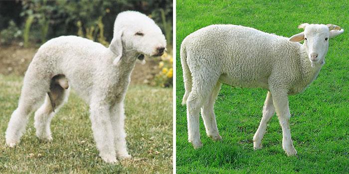 cachorro french podle que se parece oveja