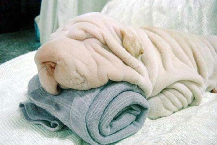 toalla con shar pei