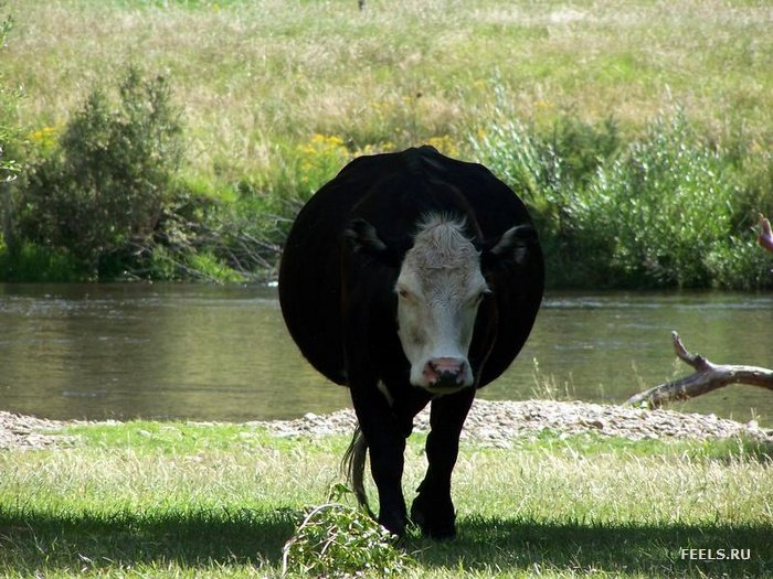 vaca gorda