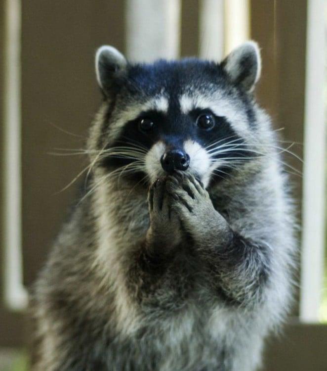 mapache con las manos en la boca
