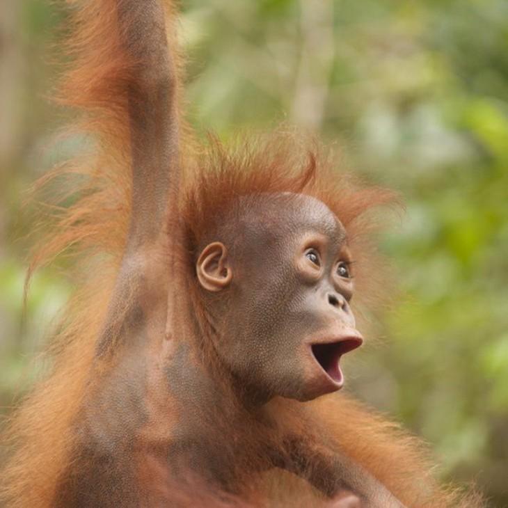 orangutan con boca abierta
