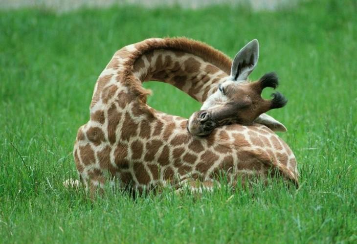 jirafa dormitando