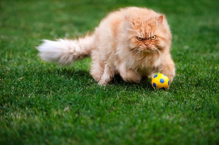 gato con pelota de futbol