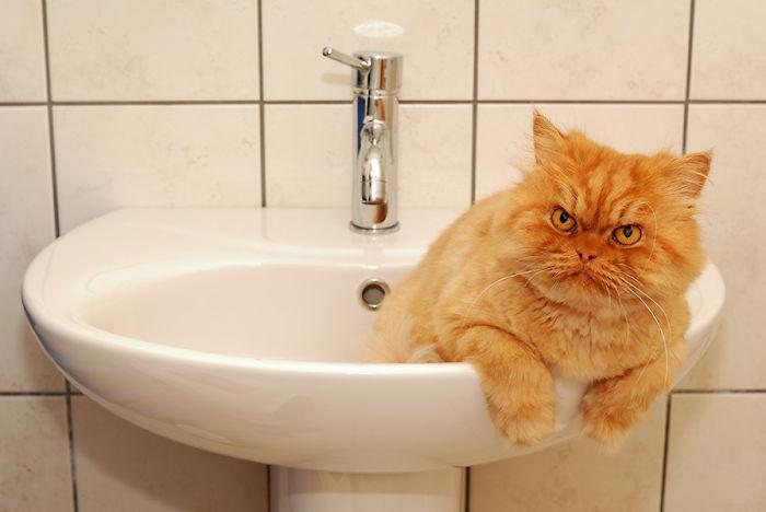 gato en lavamanos