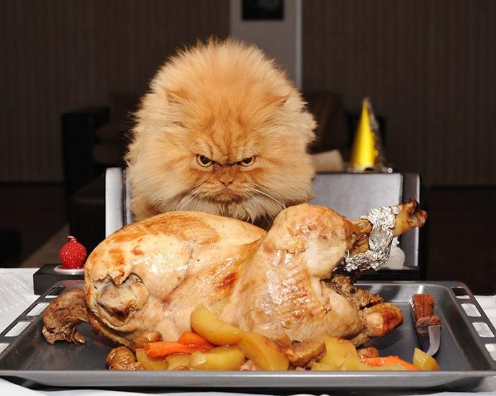 gato viendo un pollo