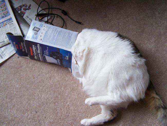 gato con la cabeza adentro de un carton