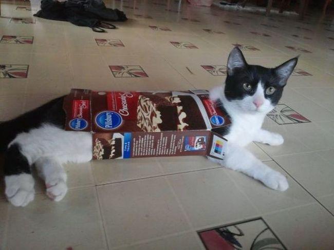gato atrapado en una caja de cereales