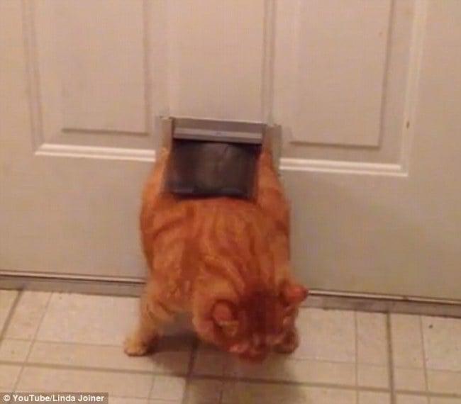gato gordo atrapado en la puerta