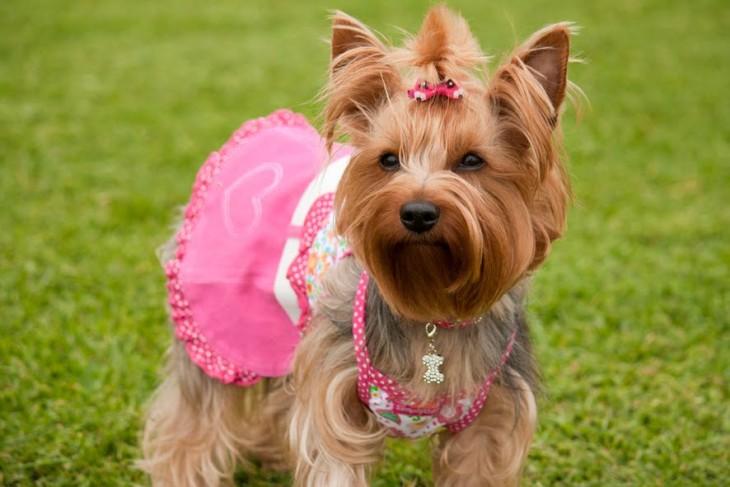Pequeño perrito parado en el pasto con un vestido en color rosa