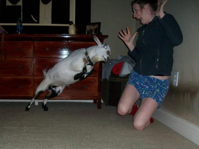 cabra ataca a una adolecente