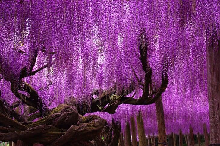 hermoso árbol whisteria de 144 años en japon