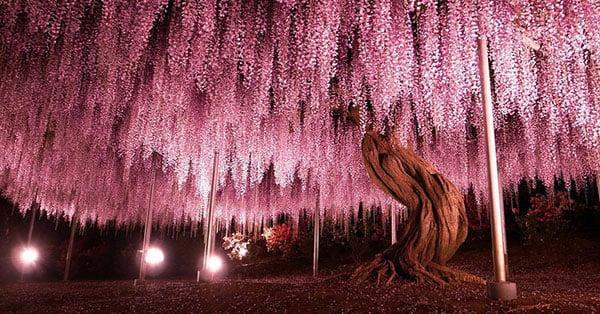 arbol wisteria impresionante y hermoso