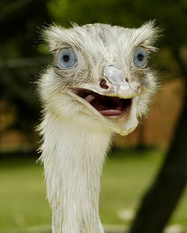 avestruz con el pico abierto