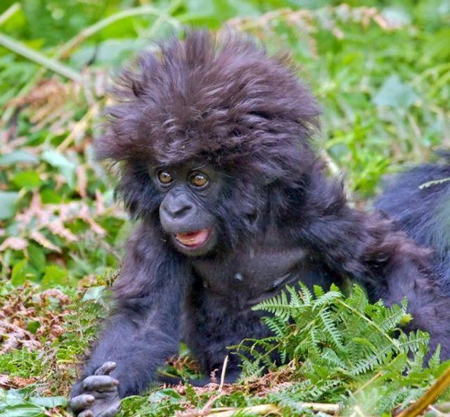bebe gorila