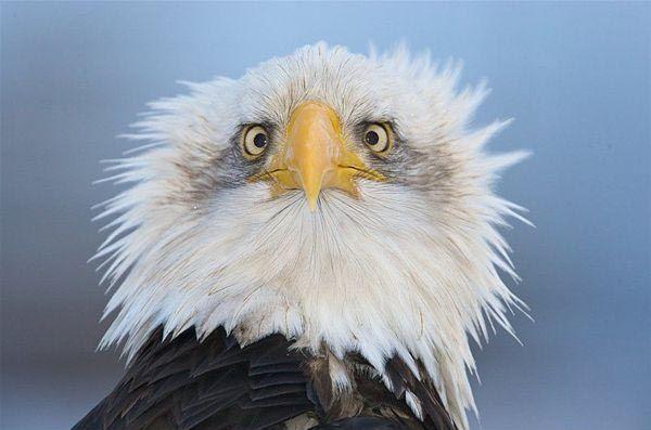 águila desplumada
