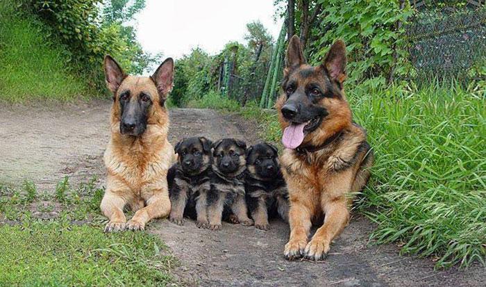 familia de perros pastores alemanes