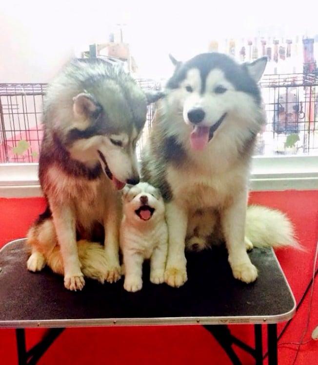 pareja husky con cachorro