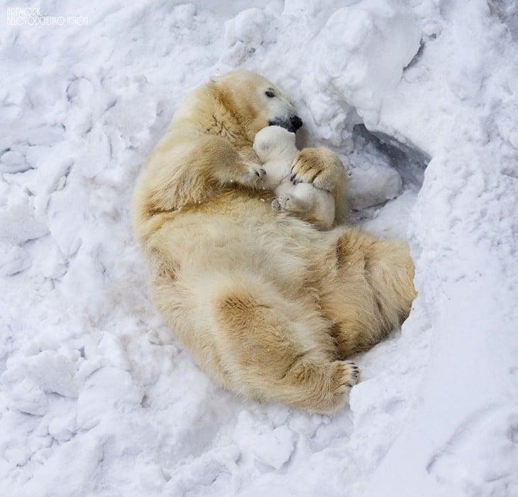 madre oso polar con cria