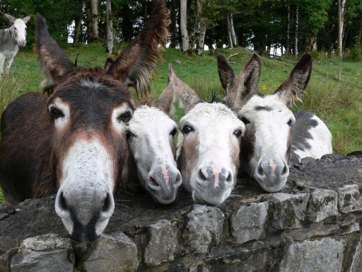 familia de mulas