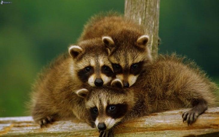 familia de 3 mapaches