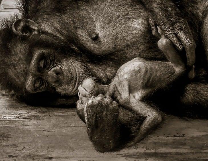 chimpance con su cria