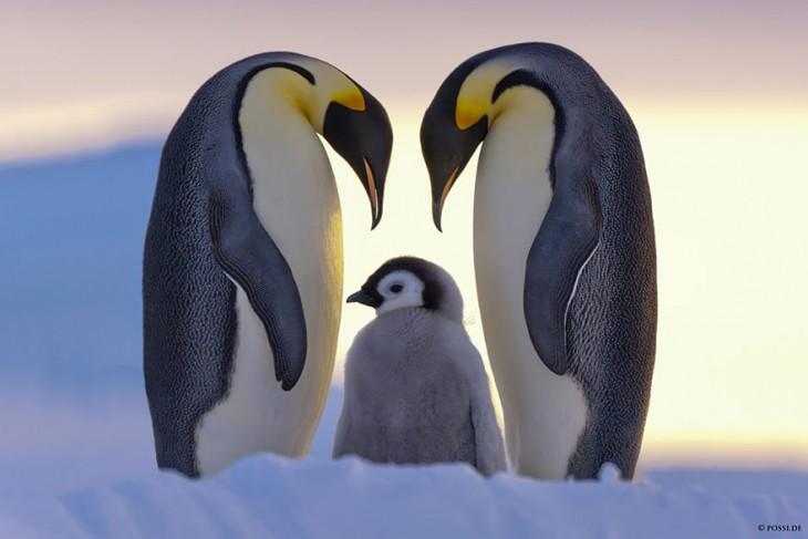 pinguinos emepradores