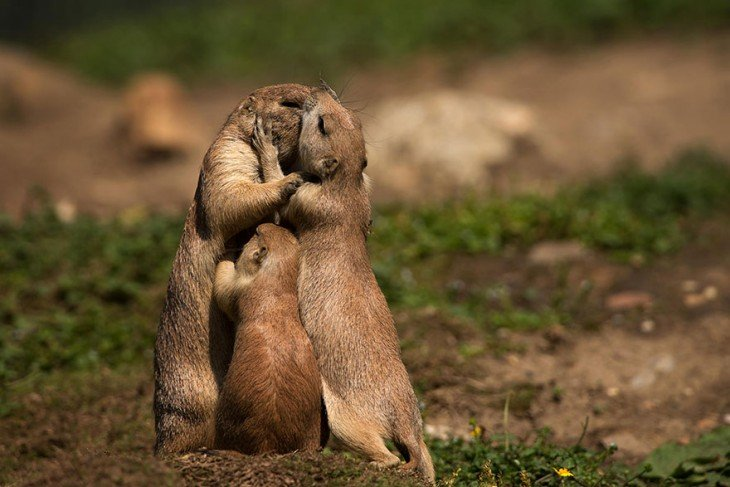familia de groundhogs