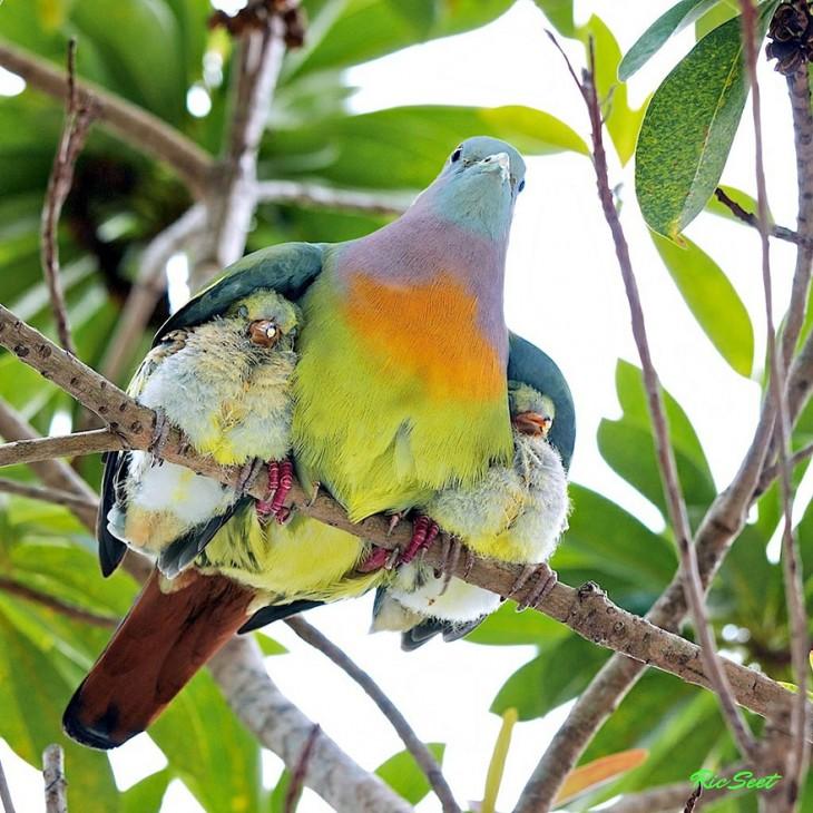 paloma con sus crias