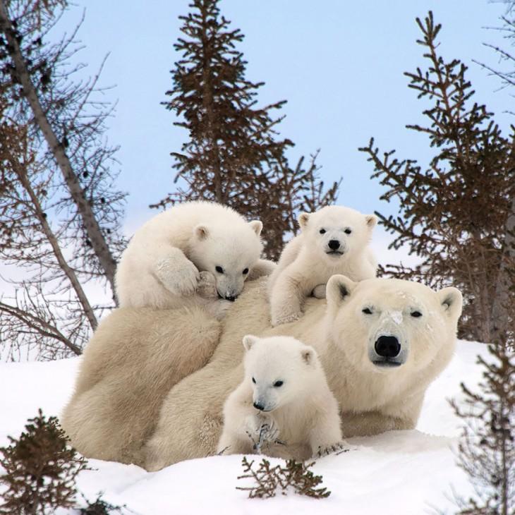 madre oso polar con sus 3 crias