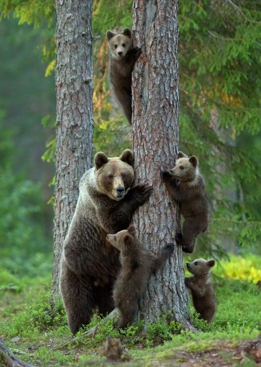 madre oso con oseznos