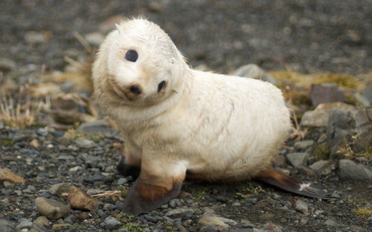 foca pequeña