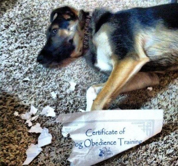 perro que rompio certificado