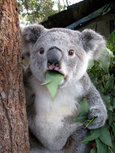 koala con una hoja en la boca