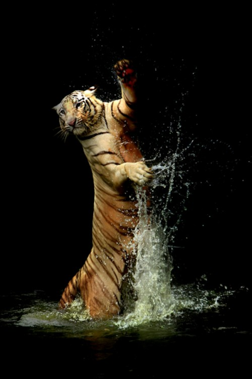 Tigre saltando en el agua y danzando