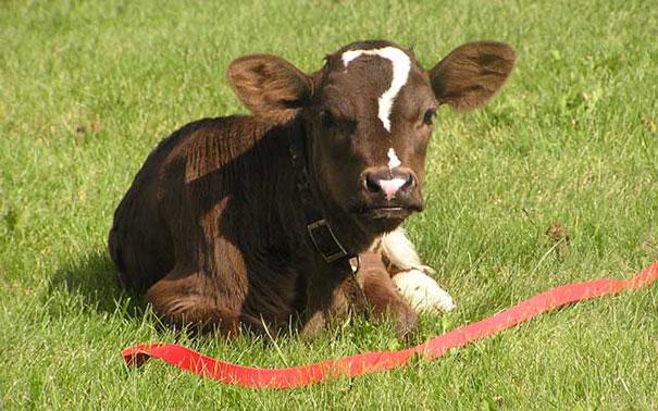 vaca con signo de interrogacion
