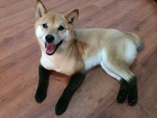 perro akita con patas negras