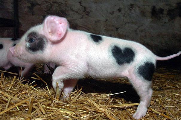 cerdo con corazones