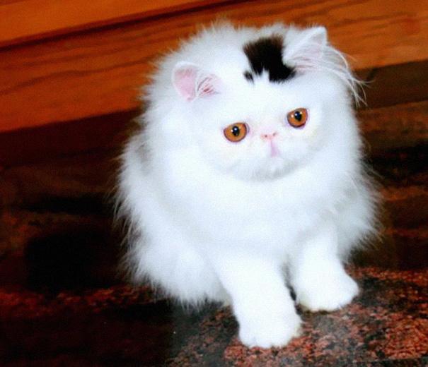 gato blanco con mancha en forma de sombrero